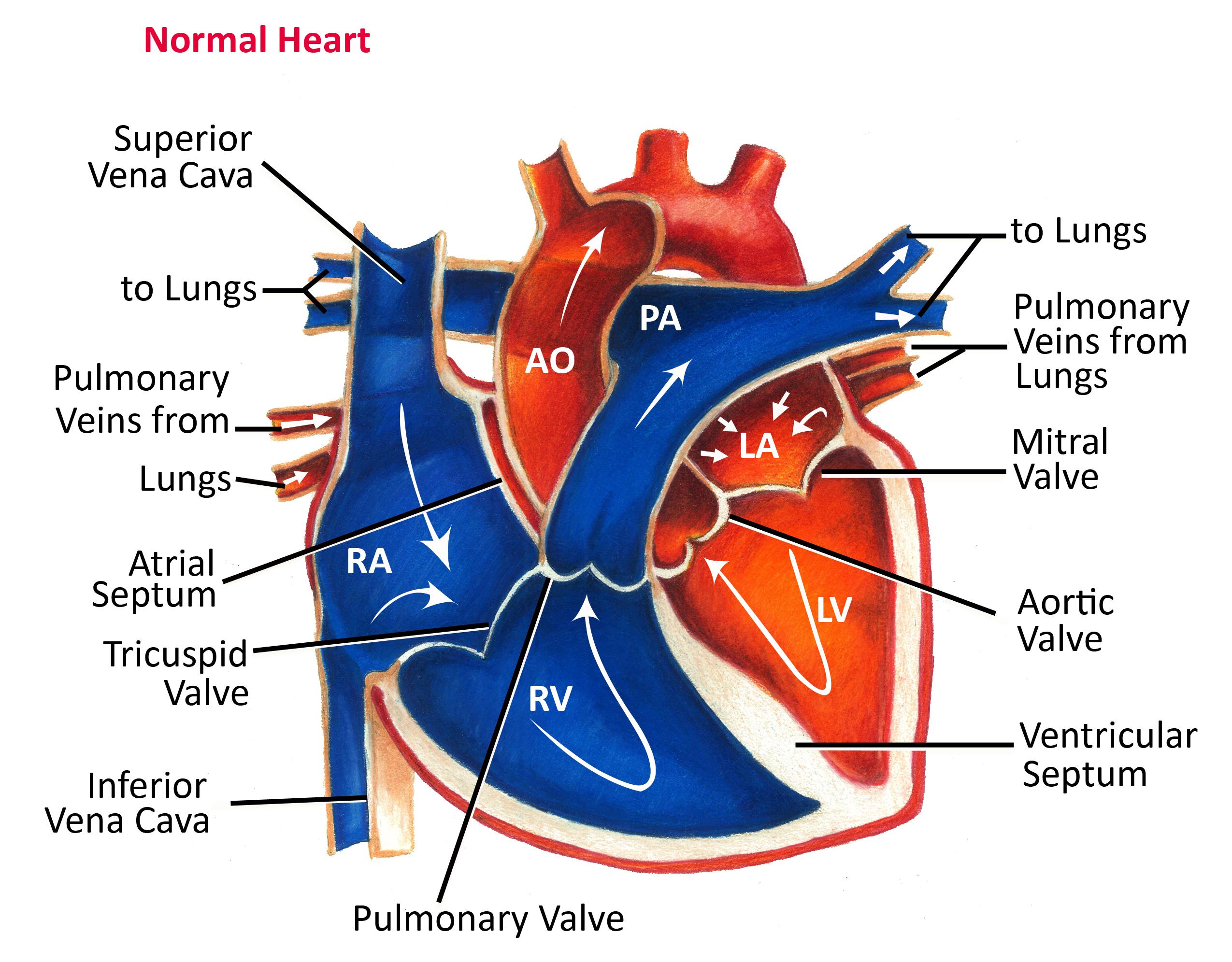 Heart Education Pediatric Heart Specialists